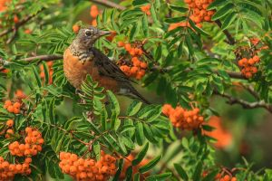 Juvenile American Robin with Mountain Ash