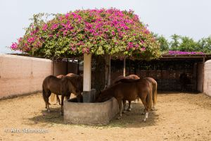 Peruvian Paso Horse stable
