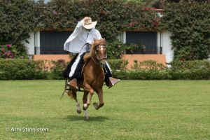 Peruvian Paso Horse charging