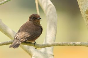 Vermillion Flycatcher-Sooty or Melanistic Morph