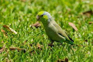 Pacific Parrotlet 3