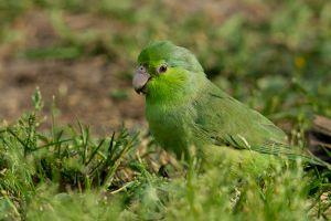 Pacific Parrotlet 2