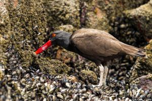 Blackish Oystercatcher 1