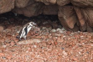 First view of a Humboldt Penguin