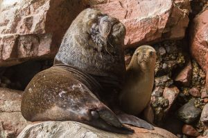 Male Sea lion and smaller female