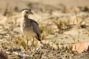 Peruvian Thick-knee