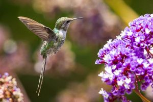 Peruvian Sheartail 2