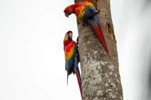 Scarlet Macaws 2