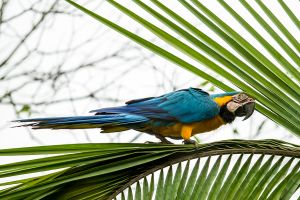 Blue and Yellow Macaw 3