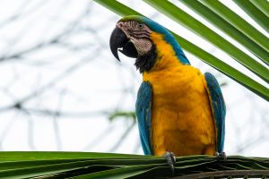 Blue and Yellow Macaw 4