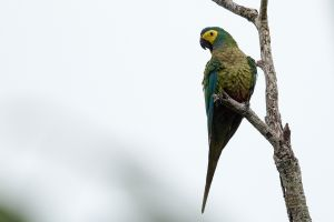Chestnut-fronted Macaw 2
