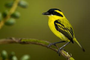Yellow-browed Tody-Flycatcher 1