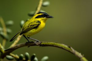 Yellow-browed Tody-Flycatcher 4