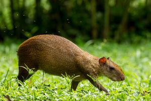 Common Agouti and flies