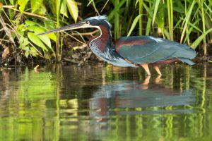 The beautiful Agami Heron