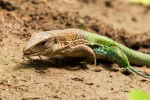 Amazon Racerunner 2