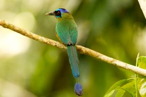 Blue-crowned Motmot 2
