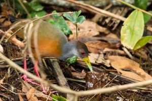 Gray-necked Wood-Rail