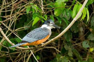 Ringed Kingfisher 3