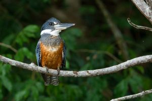 Ringed Kingfisher 2