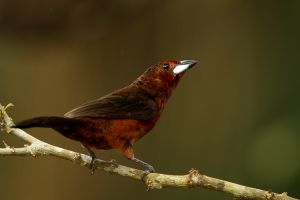 Silver-beaked Tanager 1