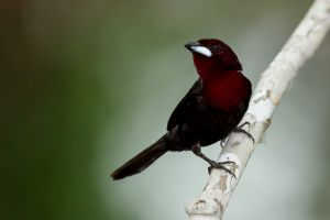 Silver-beaked Tanager 2