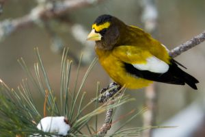Evening Grosbeak-male