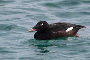 White-winged Scoter male