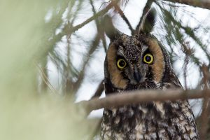 Long-eared Owl close-up 1