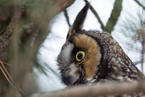 Long-eared Owl close-up 2