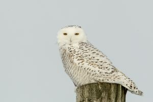 Snowy Owl 1 - Shelburne