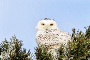 Perched Snowy Owl - Amaranth Twp.