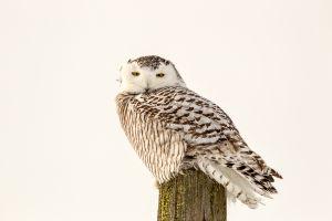 Snowy Owl 2 - Shelburne