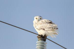 Snowy Owl 3 - Mulmur Twp