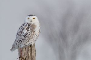 Snowy Owl 4 - Clearview Twp.