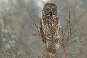 Great Gray Owl 4