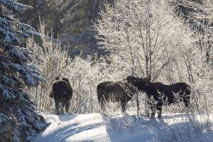Algonquin Winter Moose 1