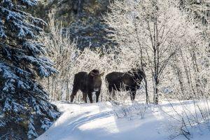 Algonquin Winter Moose 2