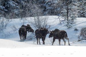 Algonquin Winter Moose 4