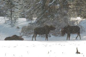 Algonquin Winter Moose 5
