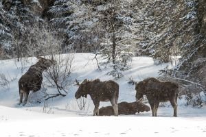 Algonquin Winter Moose 6