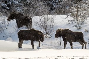 Algonquin Winter Moose 7