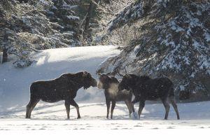 Algonquin Winter Moose 8