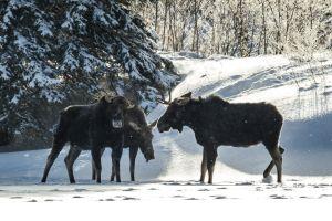 Algonquin Winter Moose 9