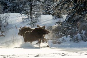 Algonquin Winter Moose 11