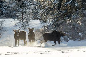 Algonquin Winter Moose 12