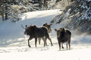 Algonquin Winter Moose 13