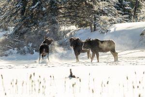 Algonquin Winter Moose 14