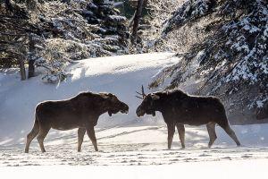 Algonquin Winter Bull Moose 1