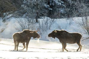 Algonquin Winter Bull Moose 2